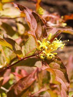 Great Design Plant Northern Bush Honeyle A Bronze Beauty List Evergreen Shrubs