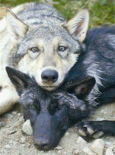 Liggende wolven