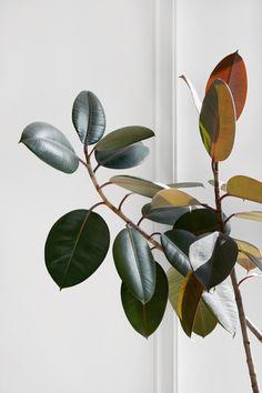 Rubber Plant or Ficus Elastica Cactus Plante, Pot Plante, Rubber Plant, Plant Aesthetic, Plants Are Friends, Motif Floral, Green Life, Cool Plants, Houseplants