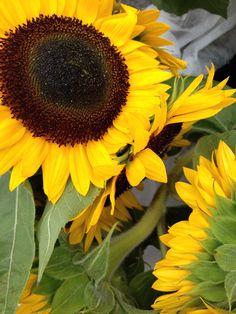 Sunflower Season | Farmers Market Flower #markpizzaart #nofilter #sunflower #farmersmarket