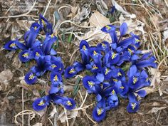 Daily bloom for October 10, 2012: reticulated Iris 'Harmony'. Photo by bmuller.