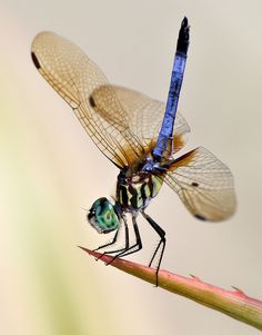 LįᏰεℓℓนᏝεᎦ (Blue Dasher Dragonfly by Pedro Lastra) Dragonfly Photos, Dragonfly Art, Dragonfly Symbolism, Beautiful Bugs, Beautiful Butterflies, Gossamer Wings, Cool Bugs, Insect Photography, Praying Mantis