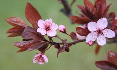 pink cherry blossom and leaves on branches with green nature macro high resolution picturea
