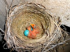 Day #4 of the Robin's nest. Two of the little birds hatched.