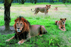Lake Nakuru National Park_lions