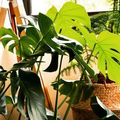 """Sandra on Instagram: """"#monstera . Cette plante est devenue un incontournable de nos intérieurs grâce à Pinterest et Instagram.  Est-ce que vous en avez aussi une…"""" Decoration, Plant Leaves, Instagram, Plants, Decor, Decorations, Decorating, Dekoration, Ornament"""