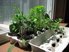 Herb gardens start with egg cartons.