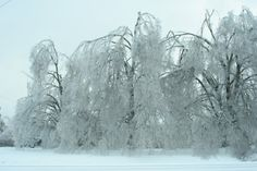 Ice storm January 2009. These are the trees that were in front of my house. You can't even see the house behind them because there was so much ice.