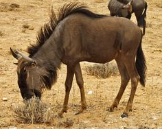 A Blue Wildebeest delightfully munches on a form of desert plant life that appears positively inedible.
