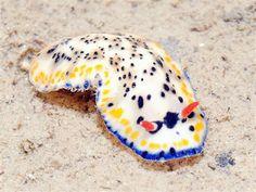 colourful sea slug (Singapore)