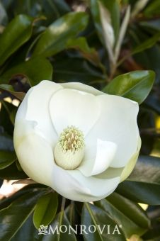 Dwarf Southern Magnolia, a fairly small tree with large flowers in late spring/early summer and glossy evergreen leaves.