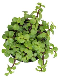 Portulacaria afra prostrata - Green Friends for Our Home  IMAGES, GIF, ANIMATED GIF, WALLPAPER, STICKER FOR WHATSAPP & FACEBOOK