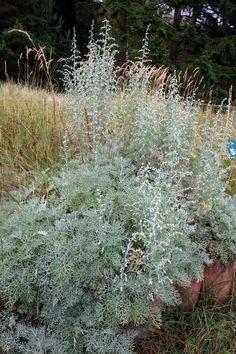 Strand-Beifuß (Artemisia maritima)