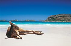 Ha ha cool dude in Lucky Bay, Western Australia via via @SeeAustralia