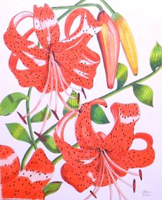 Orange Tiger Lily Original Drawing in Pen by LauraWilsonGallery