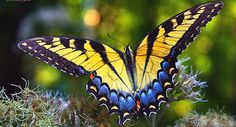 Swallowtail butterflies are large, colorful butterflies in the family Papilionidae, which includes over 550 species. Butterfly Kisses, Butterfly Flowers, Monarch Butterfly, Butterfly Species, Butterfly Tattoos, Flowers Pics, Most Beautiful Butterfly, Beautiful Bugs, Amazing Flowers