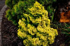 Buy Nana Lutea Hinoki Cypress Online. Arrive Alive Guarantee. Free Shipping On All Orders Over $99. Immediate Delivery.