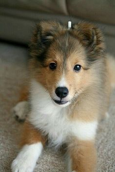 The Shetland Sheepdog originated in the and its ancestors were from Scotland, which worked as herding dogs. These early dogs were fairly Collie Puppies, Collie Dog, Beautiful Dogs, Animals Beautiful, Cute Puppies, Dogs And Puppies, Sheep Dog Puppy, Sheep Dogs, Shetland Sheepdog Puppies