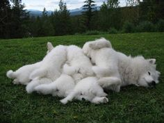 "Samoyed and puppies in a display of the proverbial ""dog pile"""