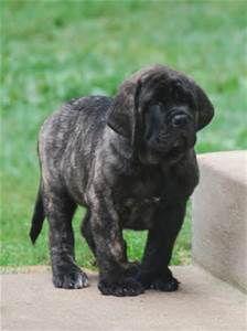 English Mastiff- Bing Images