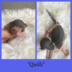Baby Ometz Quills