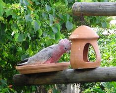 This pretty bird is eating from Starry's feeder! I can't even imagine having these special birds fly wild in my yard!