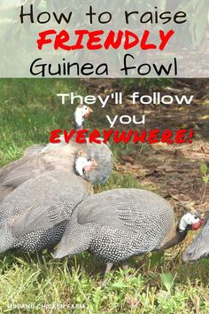 Guinea fowl are not the most friendly birds naturally, but with time, patience and treats they can be tamed. Follow my training method for guinea hens that will follow you everywhere you walk! For homesteads or farms. Backyard Poultry, Backyard Farming, Chickens Backyard, Types Of Poultry, Guinea Fowl, Flock Of Birds, Chicken Livers, Wild Edibles, Raising Chickens