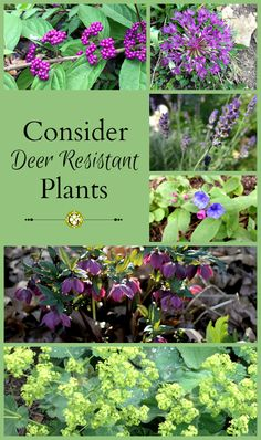 Deer Resistant Plants To Consider In This Year's Garden is part of Shade garden Deer Resistant - Learn how to deter deer by planting deer resistant plants in your garden and other deterrents that will help your garden grow big and lush Garden Vines, Plants, Planting Flowers, Organic Gardening, Deer Resistant Plants, Deer Deterent, Outdoor Plants, Deer Resistant Landscaping, Garden Pests