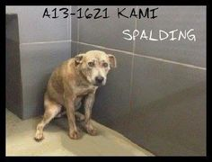 STILL ALIVE! KEEP SHARING! 1/12/14 STILL AVAILABLE!! Look at this poor scared girl. Lets get her out NOW!!! PIN LIKE HER LIFE DEPENDS ON IT...BECAUSE IT DOES!!!13-1621 KAMI SHEPHERD MIX FEMALE ADULT LAST DAY JAN 10 PAST LAST DAY, BUT STILL THERE AND CAN GO DOWN AT ANY TIME..  For information on the dogs call the shelter director at 770-467-4772. If you need help with pulling/transport/rescue please email info@savinggeorgiadogs.org