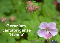 Geranium cantabrigense 'Hanne'