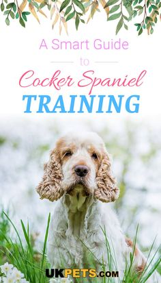 For an intelligent gun dog, the cocker spaniel is a promising pooch that surely stands out in a crowd. Learn cocker spaniel training here. Black Cocker Spaniel Puppies, American Cocker Spaniel, Puppies Puppies, Chocolate Cocker Spaniel, Blue Roan Cocker Spaniel, Husky, Working Cocker, Dog Search, Cockerspaniel