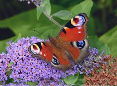 Peacock Inachis io, Alner's Gorse, Dorset © Adrian Hoskins - The butterfly is distributed throughout most of Europe but is absent from northern Scandinavia, and from most of southern Spain and Portugal. Beyond Europe its range extends across temperate Asia to Japan.
