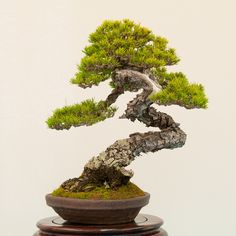 Red pine bonsai