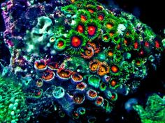 Mixed Dragon Eye Zoanthids