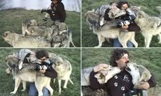 Incredible moment photographer is jumped by a pack of gigantic grays who then NUZZLE him!