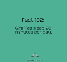 Giraffes sleep 20 minutes per day! They don't need much beauty sleep cuz they already drop dead gorgeous honey anymore would just be overdoing it! #GIRAFFEOFACTLY