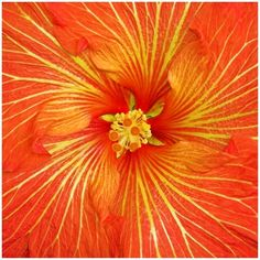 ORANGE HIBISCUS   copyright by sherpet
