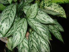 Described as a tough-as-nails houseplant the Chinese Evergreen holds a secret in its leaves. The plant is said to bring luck to its owner. In fact one man noticed the…