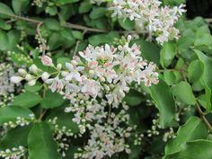 Ligustrum vulgare. May