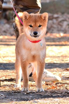 柴犬の子供 (Shiba inu puppy)