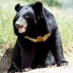 Asian Black Bear http://true-wildlife.blogspot.co.uk/2010/11/asian-black-bear.html#