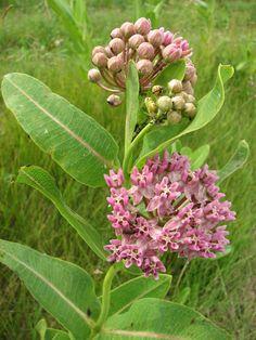 Prairie Moon Nursery :: Seeds :: Asclepias sullivantii (Prairie Milkweed)