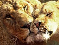 lion love graphics and comments Big Cats, Cool Cats, Cats And Kittens, Beautiful Cats, Animals Beautiful, Cute Baby Animals, Animals And Pets, Lion Couple, Lion Family