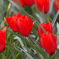 Top Tulips that Come Back Every Year - Your search for a perfect perennial tulip may be over once you find Tulipa batalinii 'Red Hunter'. This 10-inch-tall species tulip explodes with brilliant red blooms nestled in blue-green leaves.