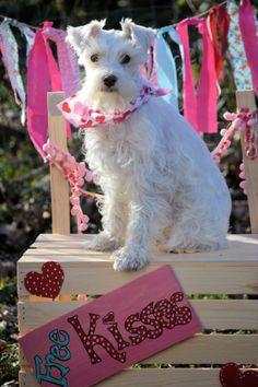 Sophie ;Schnauzer/ Valentine's Day