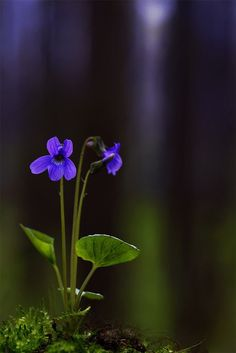 """""""Lead me where the wild violets grow."""" Photo: cornflowers and forest violet near Mosier, Oregon, in the Columbia River Gorge"""