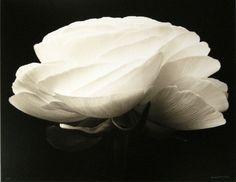 Gardenia, Denis Brihat  1999-printed 2001