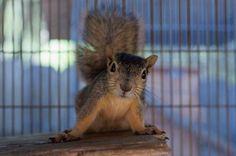 Inquisitive little Squirrel Friend saying hello, at the California Wildlife Center. via @CuteOverload