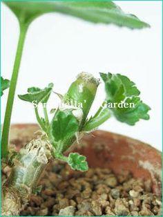 제라늄 키우기 방법 A to Z - <3> 수형잡기(순따기, 가지치기) & 번식방법 : 네이버 블로그 Plants, Flora, Plant, Planting