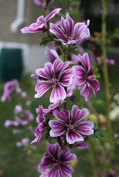 636 Best Perennial Flower Images Images Flowers Perennials Flower